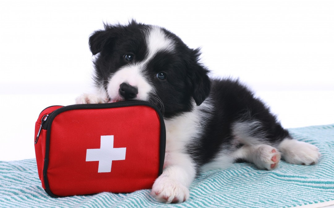 Veterinary Medicine | Pet First Aid