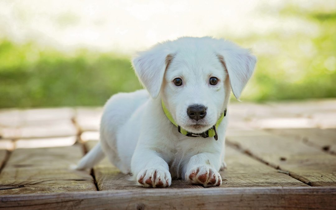 Canine Distemper, Adenovirus Type 1 & 2, Parainfluenza and Parvovirus Vaccine