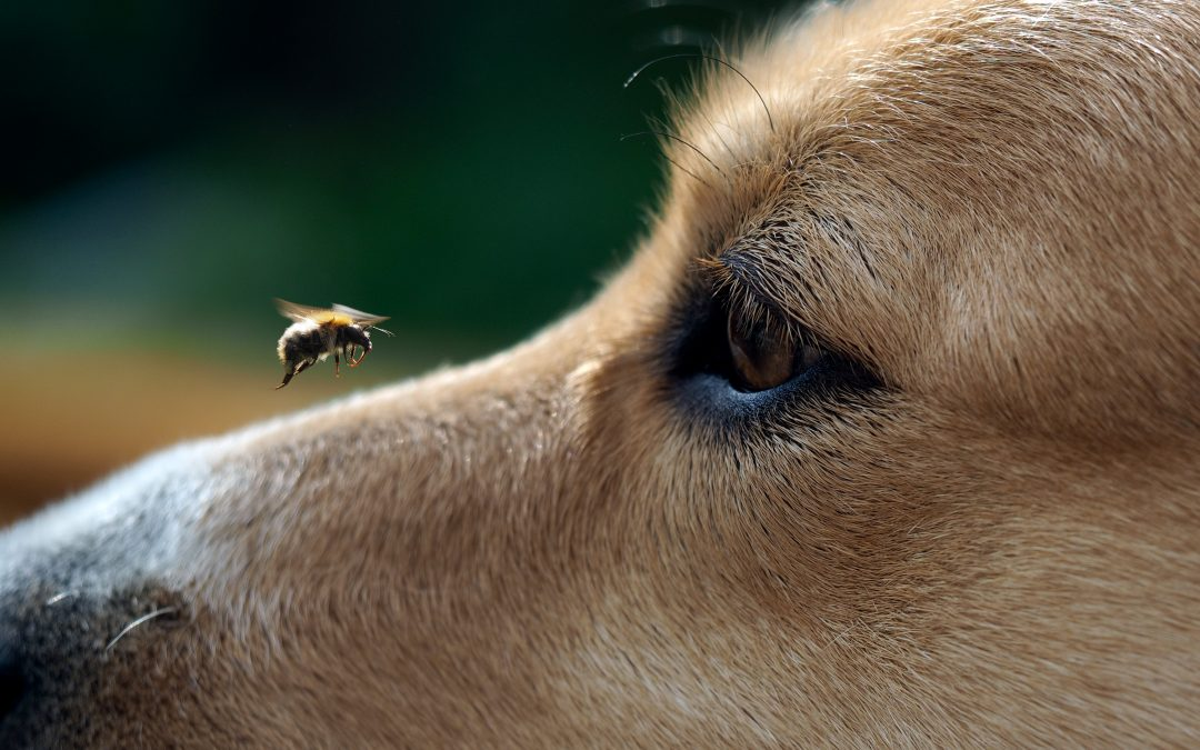 Treating Your Dog For A Bee Sting