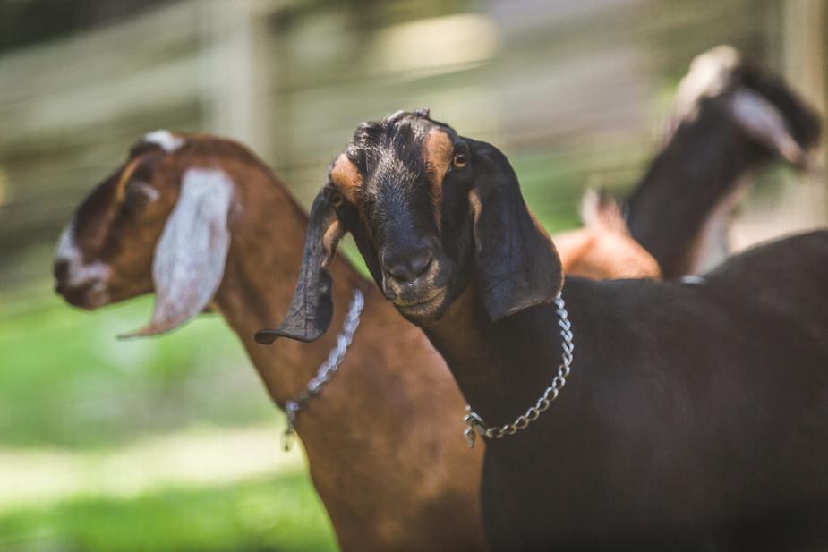 Goat Yoga & Animal Therapy