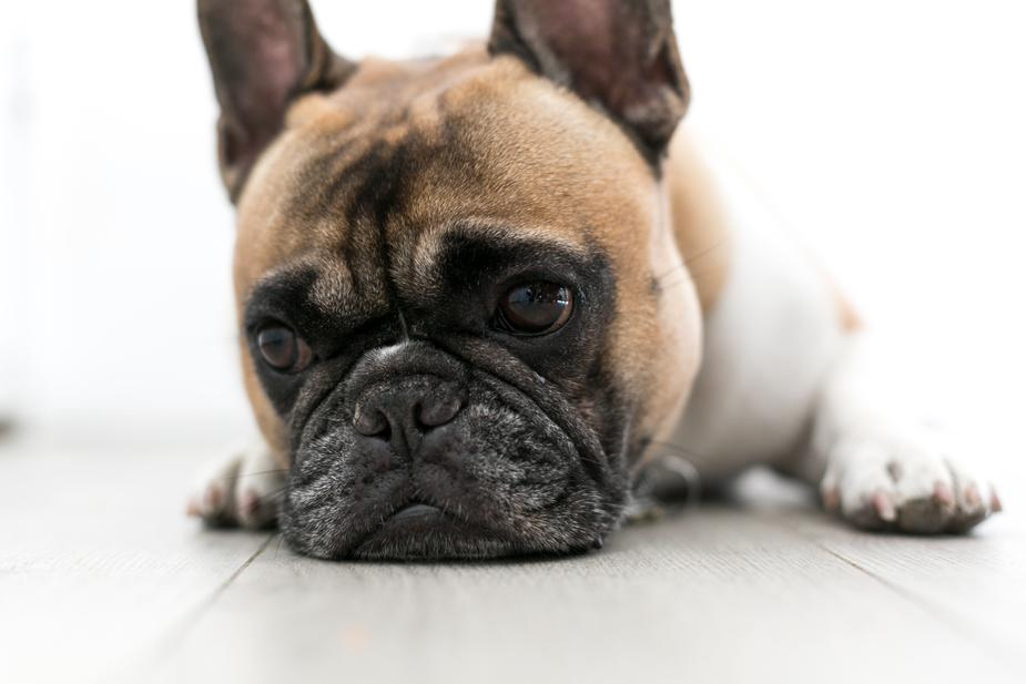 your local pet clinic serving Chandler - glum dog with face on floor