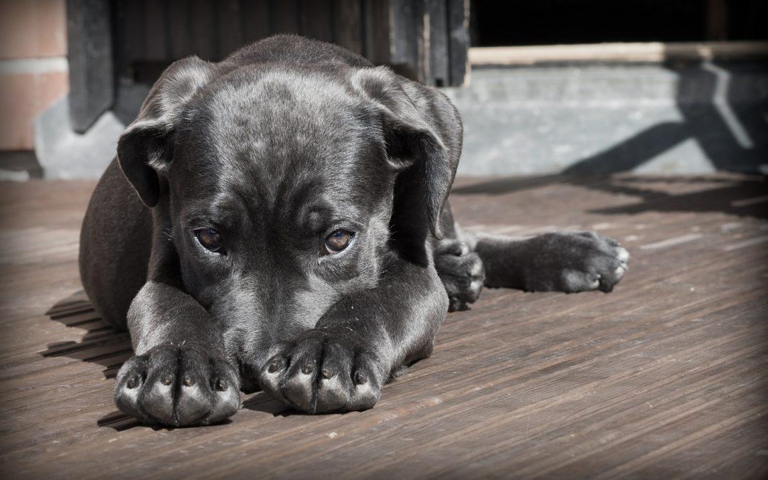 Understanding Hypothyroidism in Dogs