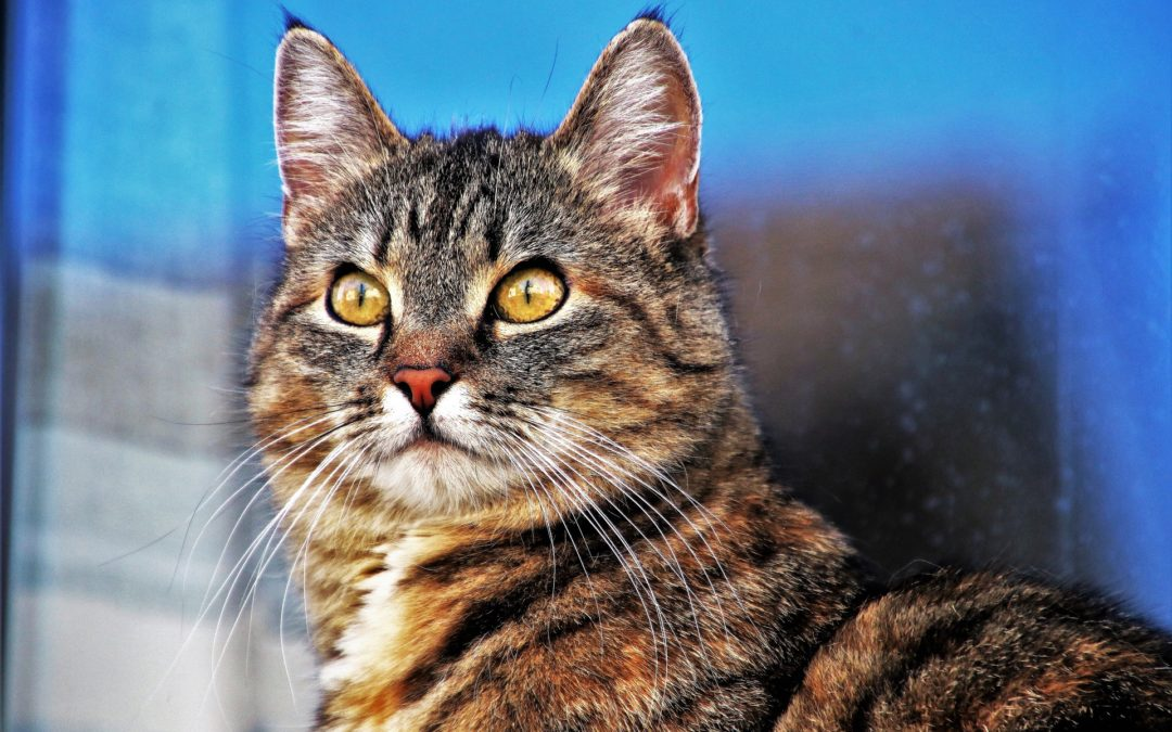 Fun Facts About Tabby Cats |Gilbert, AZ|