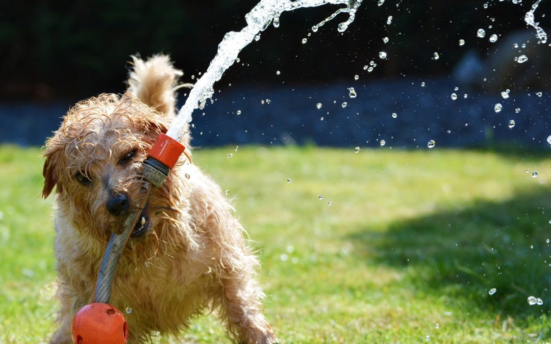 keeping your dog safe during the summer in Arizona