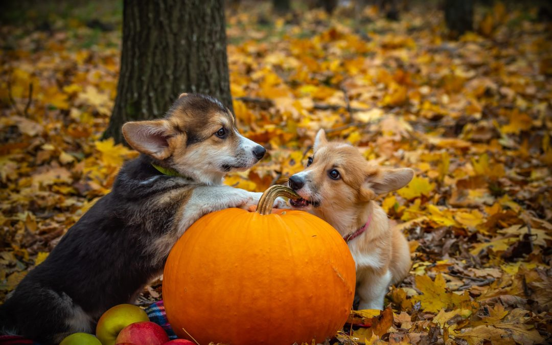 two dogs and a pumpkin in the woods - halloween pet safety