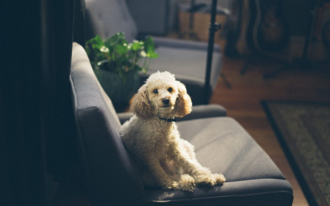 5 of the Best Hypoallergenic Dog Breeds