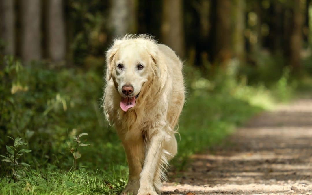 Diagnosing and Treating Arthritis in Dogs
