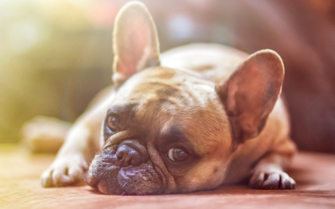 Does Your Dog have an Ear Infection?