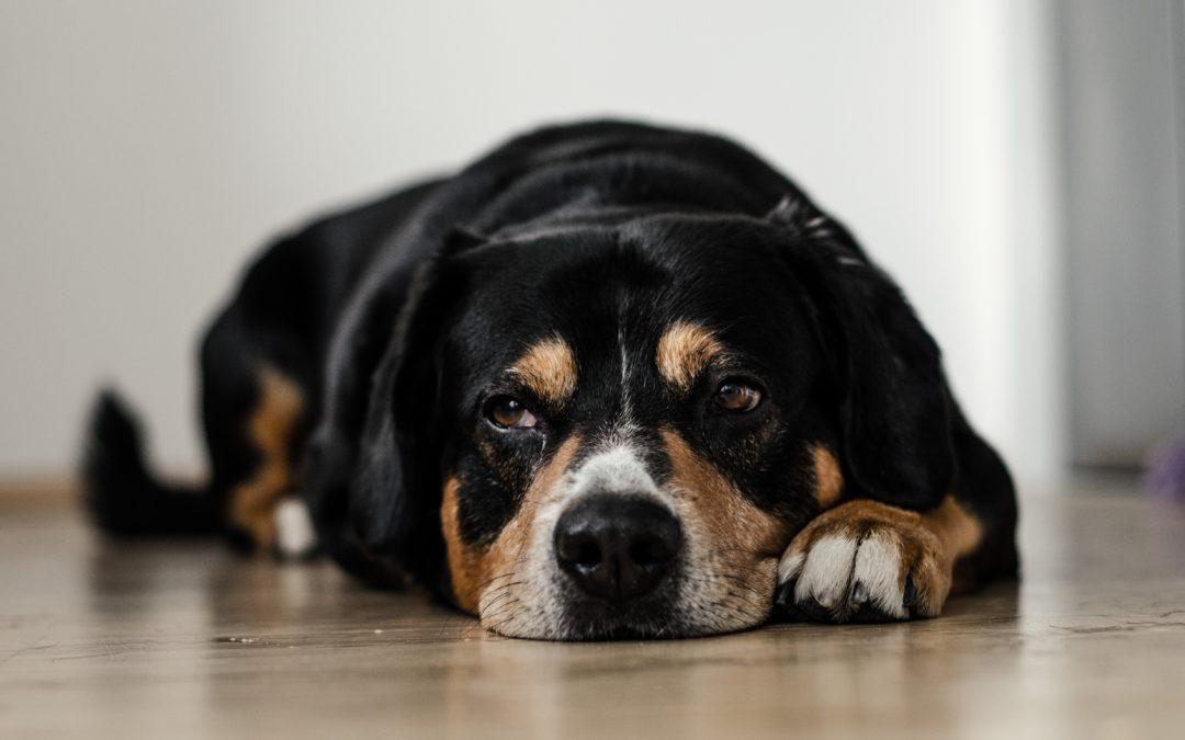 Can Dogs Get Hepatitis?